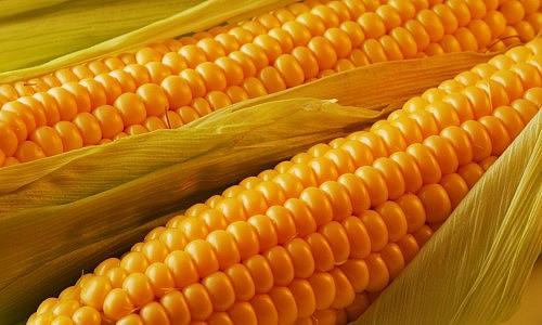 corn-wallpaper-hd-2797-2995-hd-wallpapers